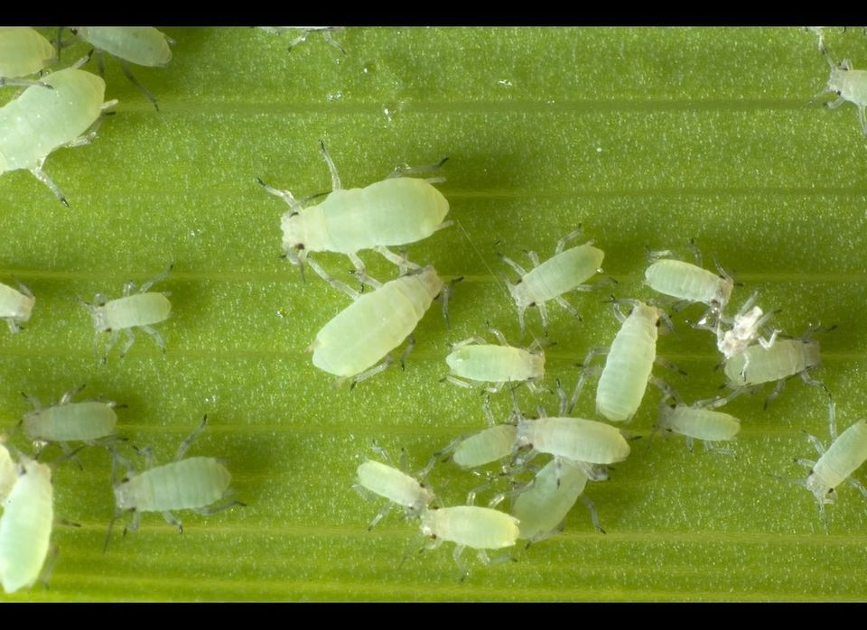 If you thought aphids were only a threat to your tulips and roses, think again. The number of whole aphids that the FDA deems