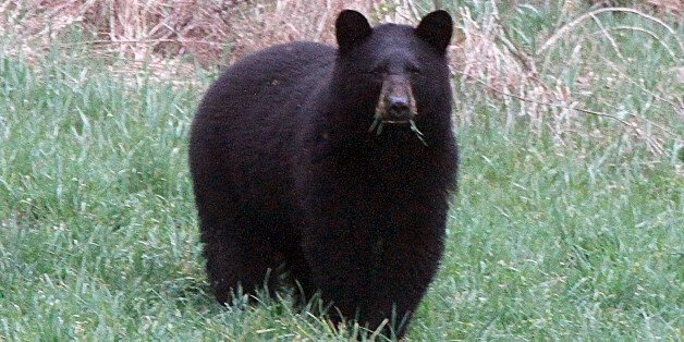 FILE - In this April 22, 2012 , file photo, a black bear grazes in a field in Calais, Vt. Vermont Fish and Wildlife officials