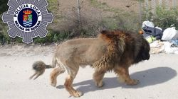 Loose Lion Reported In Spanish Town Turns Out Be A Very Big