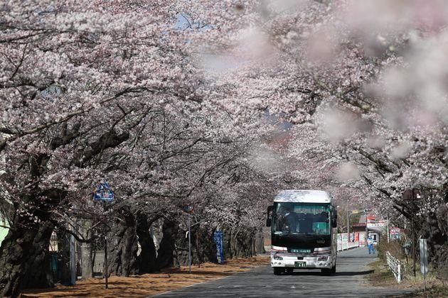石井さんが生まれ育った富岡町。桜の名所「夜の森」で知られる。(撮影日:2019年04月06日)
