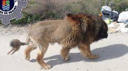 ライオンが街を徘徊している!通報を受けた警察が見つけた動物は...
