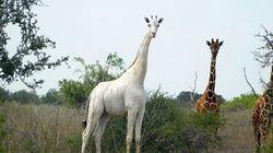 전세계 단 3마리 뿐이던 흰 기린, 2마리가