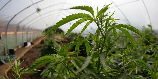 In this photo taken May 13, 2009 marijuana grown for medical purposes is shown inside a greenhouse at a farm in Potter Valley