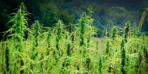 Agricultural field of industrial hemp; close up.
