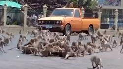 태국의 원숭이들이 집단 난투극을 벌인 이유