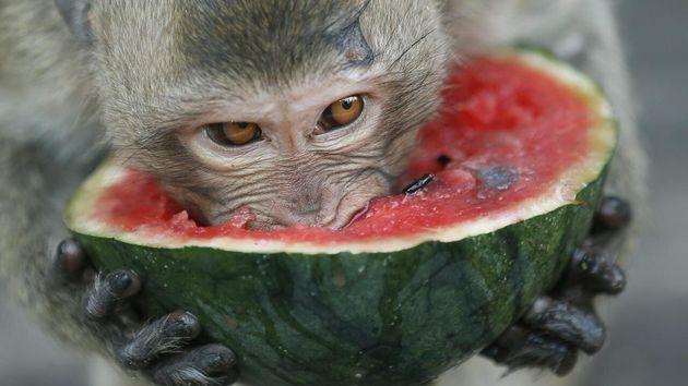 Ταϊλάνδη: Όχλος μαϊμούδων παλεύουν για τροφή εν μέσω