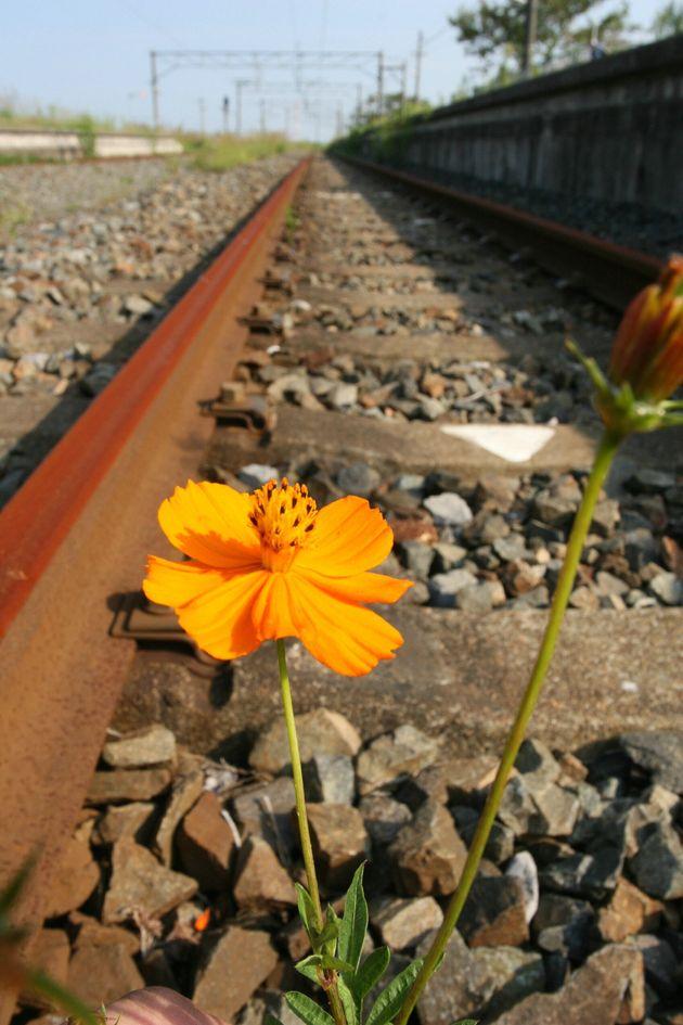 JR磐城太田駅では、電車が走らなくなり、赤くさびた線路のそばにコスモスが咲いていた。