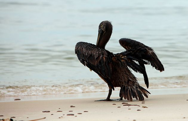 A pelican coated in oil stands on the beach in Ship Island, Mississippi, in July 2010, weeks after the...