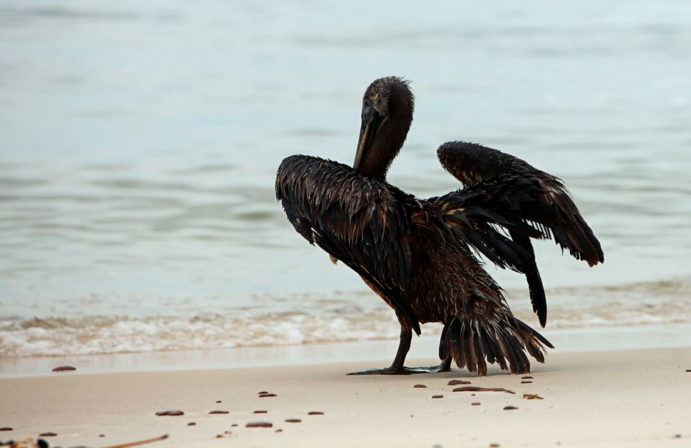 A pelican coated in oil stands on the beach in Ship Island, Mississippi, in July 2010, weeks after the Deepwater Horizon oil