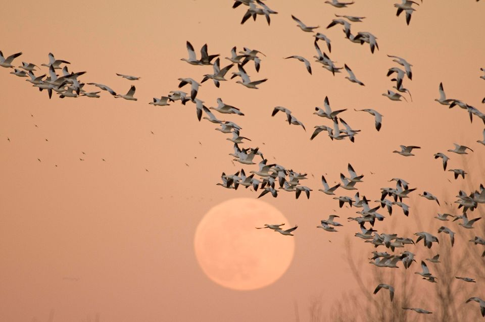 Snow geese wintering in Bosque del Apache National Wildlife Refuge in Rio Grande, New