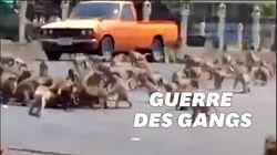 Affamés par le manque de touristes, ces singes se battent en pleine rue en