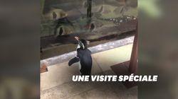 Un pingouin profite de l'épidémie pour visiter un