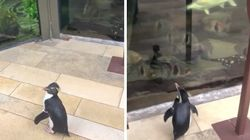 Penguins Get To Waddle Around Aquarium After It Closes Due To