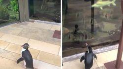 新型コロナの影響で休館中の水族館 開放されたペンギンが探索する姿が可愛すぎる