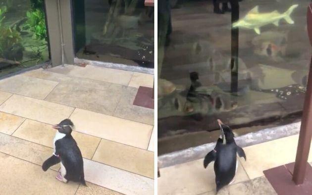 ペンギンの「ウェリントン」が館内を探索する様子