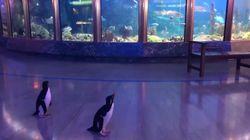 Los pingüinos de un zoo de Chicago pasean como si fuesen visitantes durante la