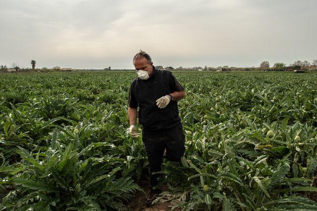 Un agricultor con mascarilla trabaja en su cultivo de alcachofas durante la crisis del