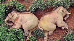 '신종 코로나 와중에 술 훔쳐먹고 잠든 코끼리' 사진은 사실이