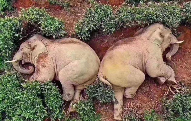 '신종 코로나 와중에 마을 난입해 술 훔쳐먹고 잠든 코끼리' 사진은