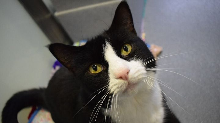 Smudge, a 10-year-old gentle giant cat, who found a new home after two weeks at Battersea.