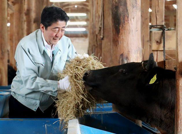 黒毛和牛の牛舎で給餌作業を体験する安倍晋三首相