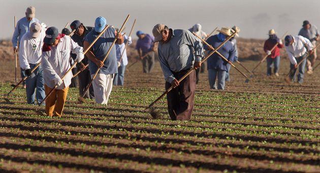 Farm workers thin lettuce crops work in in San Luis, Arizona. (AP Photo/Paul