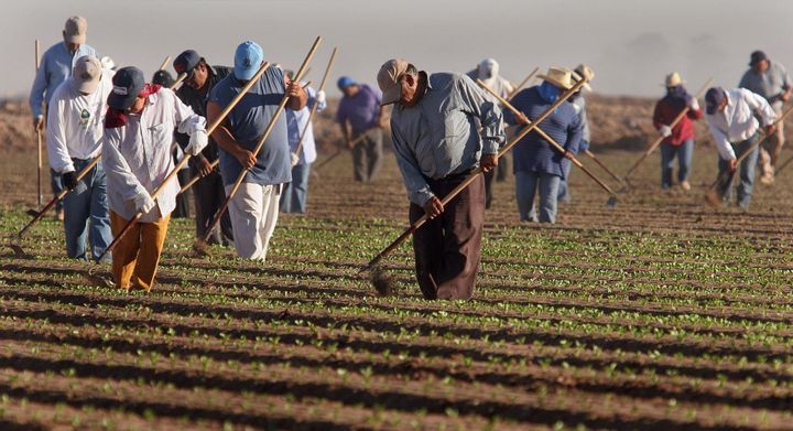 Farm workers thin lettuce crops work in in San Luis, Arizona. (AP Photo/Paul Connors)