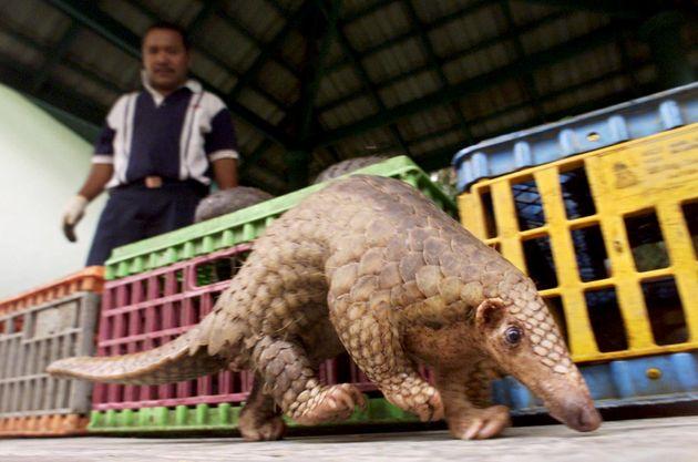 2002년 8월 4일 쿠알라룸푸르에서 말레이시아 정부가 밀수 과정을 적발해 찾은 멸종 위기 말레이천산갑의