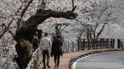 서울의 벚꽃이 98년 만에 가장 일찍