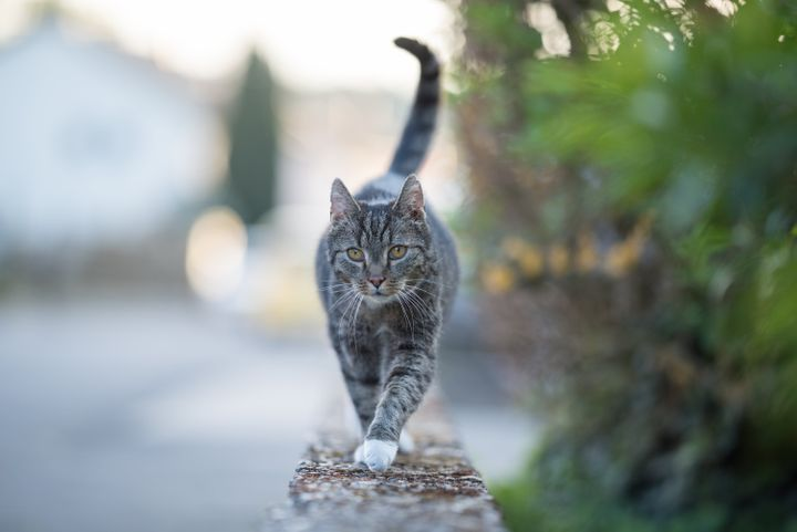 A cat in Belgium (not pictured) may be the first known case of a feline contracting COVID-19.