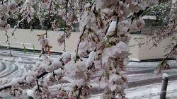 桜満開後に積雪