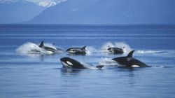 Killer Whales Pay Visit To Uncharacteristically Quiet Vancouver