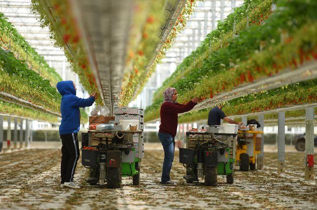 Des travailleurs récoltent des fraises dans une ferme de Sainte-Livrade-sur-Lot, dans le sud-ouest de...