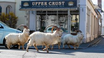 A herd of goats take advantage of quiet streets near Trinity Square, in Llandudno, north Wales. The gang of goats has been spotted strolling around the deserted streets of the seaside town during the nationwide lockdown. (Photo by Peter Byrne/PA Images via Getty Images)