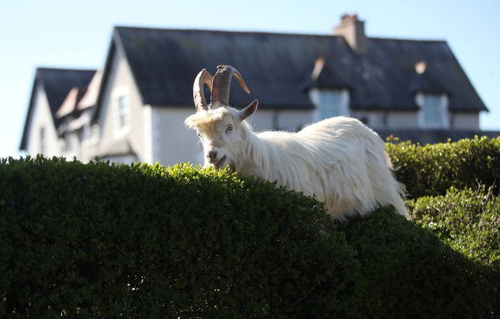 Mountain goats are feasting on Llandudno's hedges.