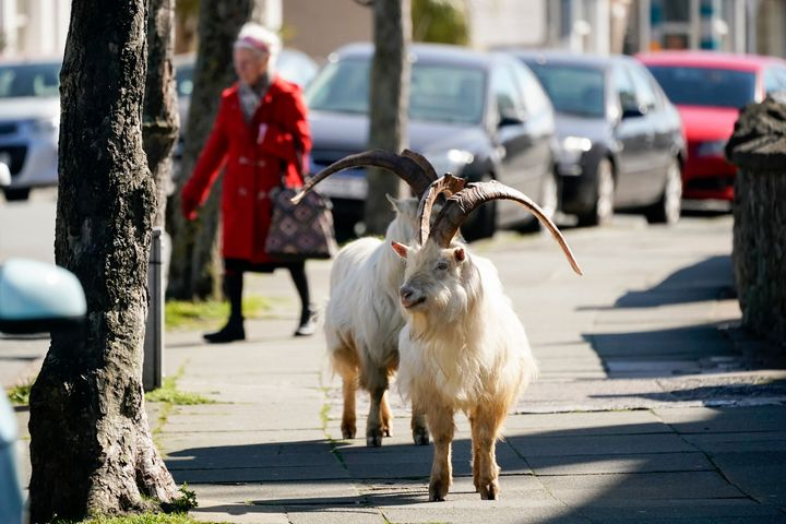 The goats normally live on the rocky Great Orme, but have descended on the town as streets empty of residents and tourists du