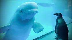 「いつもの動物と違うぞ?」シロイルカは、水族館を徘徊するペンギンに興味津々だ(写真・動画)