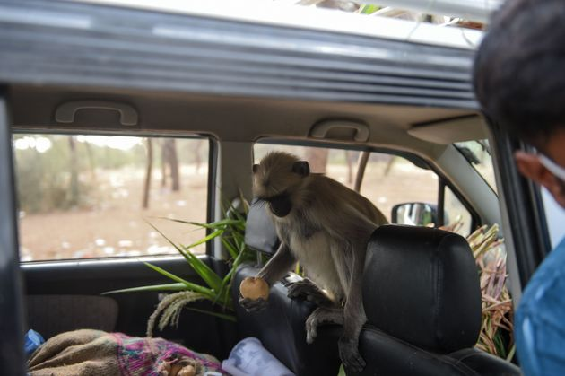 A monkey grabs a potato inside a car as a group of monkeys are being fed by a resident at Ode village,...