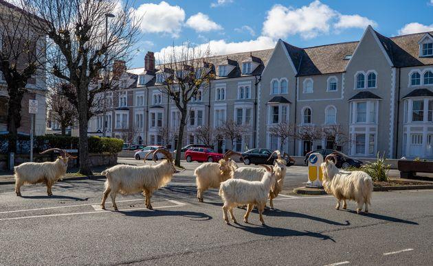 人のいなくなった街に現れたヤギの群れ