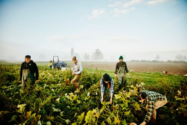 Farmers harvesting organic squash in field on foggy fall