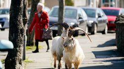 Un troupeau de chèvres s'installe dans une ville déserte du Pays de