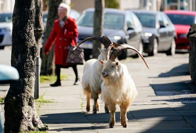 Un troupeau de chèvres a envahi la ville déserte due aux mesures de