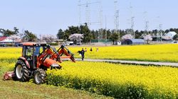 강원 삼척시가 만개한 유채꽃밭을 갈아엎는