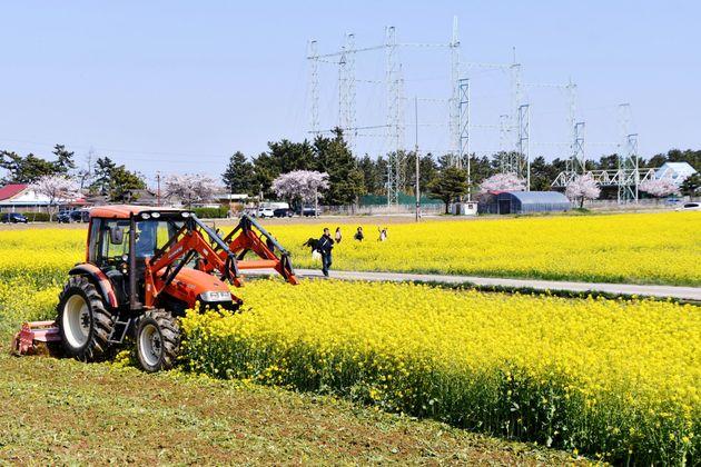 3일 오후 강원 삼척시가 맹방 유채꽃 축제를 취소했음에도 찾아오는 관광객들로 인해 유채꽃밭을 갈아엎고