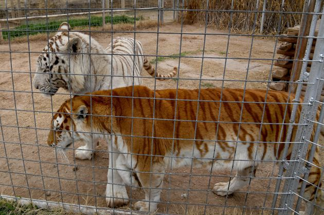 Tigers in their enclosures at the Greater Wynnewood Exotic Animal Park, the zoo formerly run by Joe Exotic...