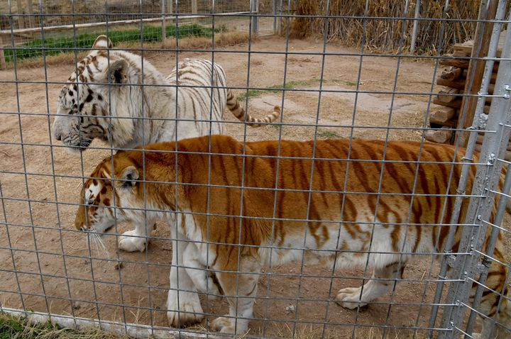 Tigers in their enclosures at the Greater Wynnewood Exotic Animal Park, the zoo formerly run by Joe Exotic and now operated b