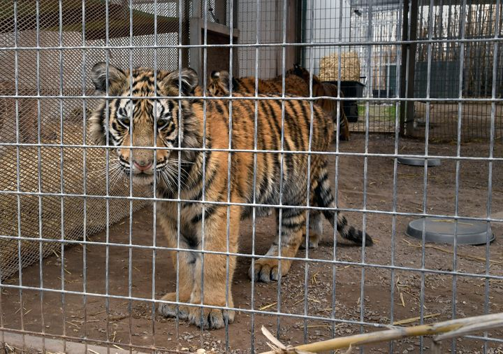 A tiger in an enclosure at the Greater Wynnewood Exotic Animal Park, the zoo formerly owned by Joe Exotic and now run by Jeff