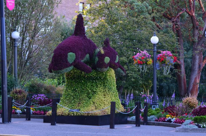 A photo of an orca-themed horticulture display taken in good weather in Victoria, B.C.