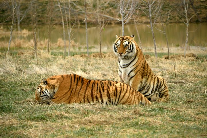 Two tiger brothers relax in their open enclosures at The Wild Animal Sanctuary on April 1, 2020 in Kennesburg, Colorado.&nbsp
