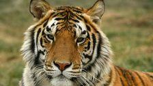 39 Harimau Dari Joe Eksotis kebun Binatang Sekarang Tinggal Di Colorado Sanctuary